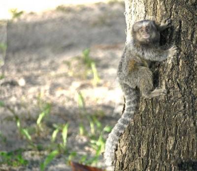 macaquinho escalando árvore